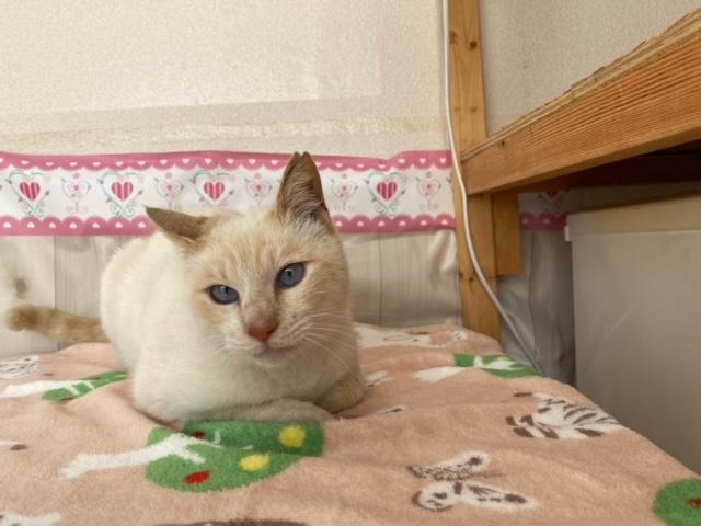 シャムミックス猫(メス):2021032801
