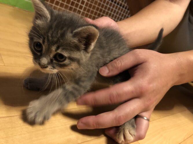 サバトラ子猫(メス):2021052801