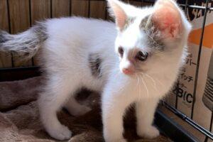 白三毛子猫(オス):2021060801