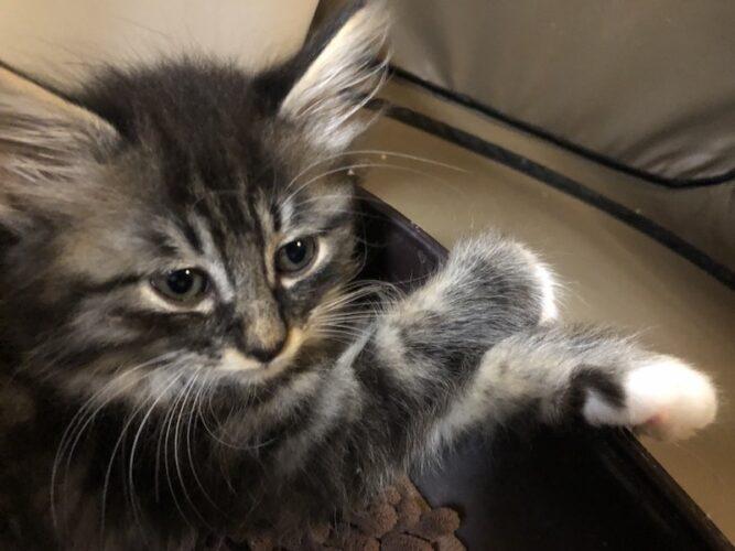 キジ子猫(オス):2021061301