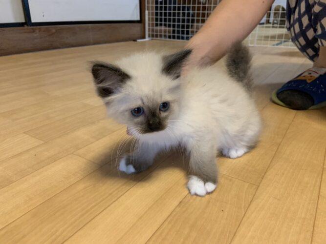 シャムミックス子猫(オス):2021061302