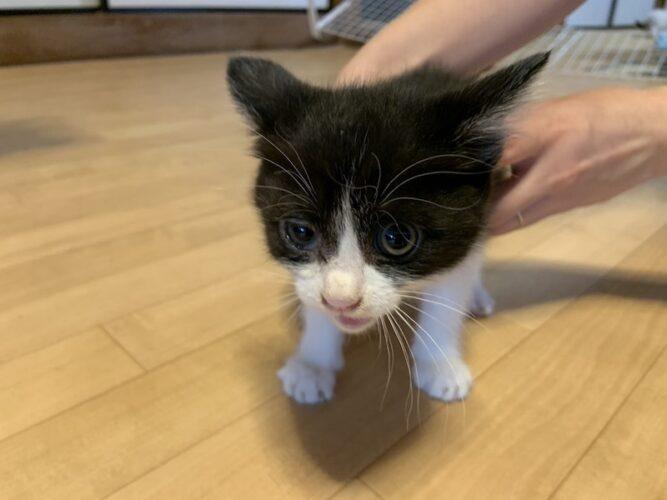 ハチワレ子猫(メス):2021061303