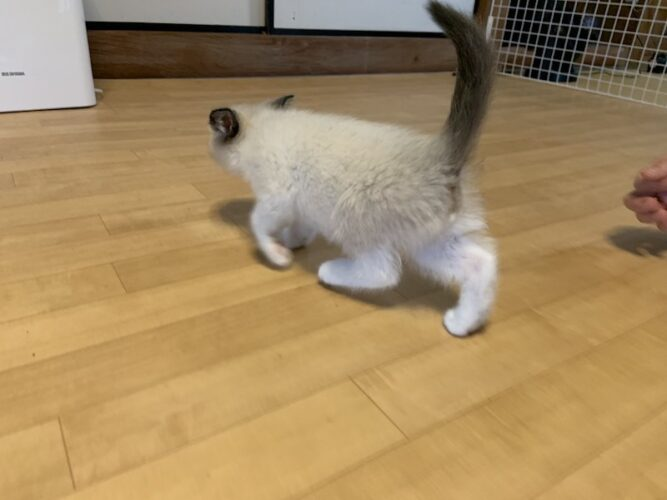 シャムミックス子猫(オス):2021061304