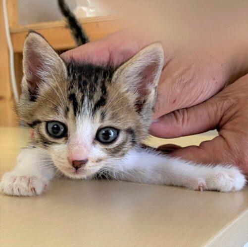 キジシロ子猫(オス):2021061902