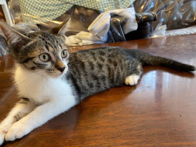 キジシロ子猫(オス):2021061903