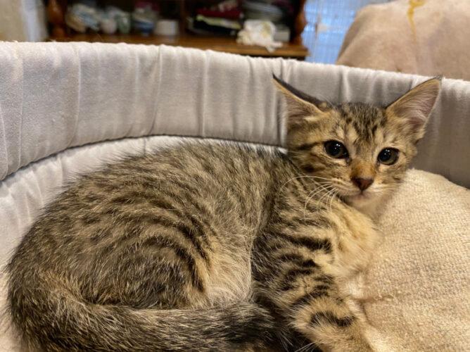キジ子猫(メス):2021070103