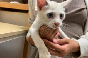 シャムミックス子猫(メス):2021070801