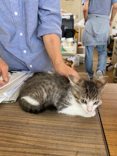 キジシロ子猫(オス):2021070802