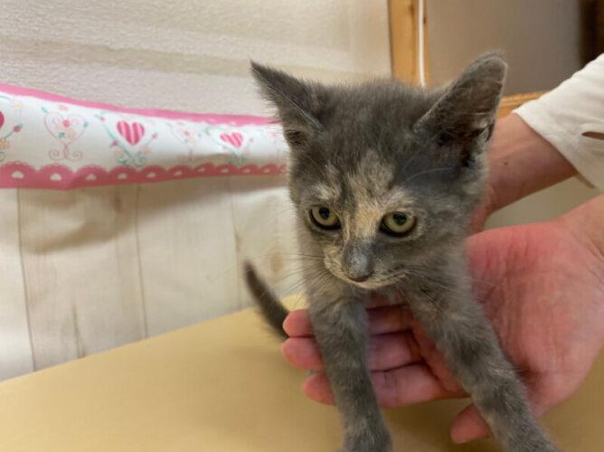 サビグレー子猫(メス):2021070804