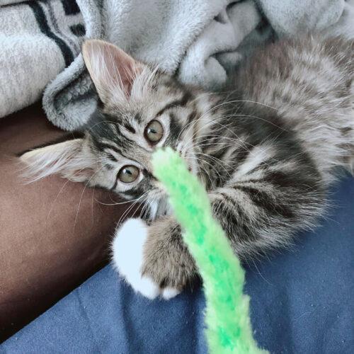 長毛キジ猫クロ君の里親さんが決定しました!