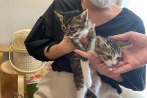 キジシロ猫兄弟ミア君&ニノ君の里親が決定しました!