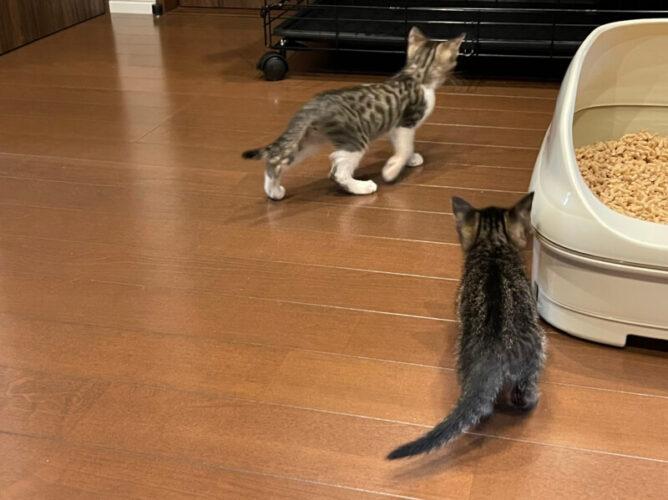 キジシロ猫兄弟ミア君&ニノ君のトライアルが決定しました!
