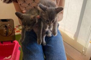 サバトラ猫カコちゃんとサビグレー猫サチちゃん姉妹の里親さんが決定しました!