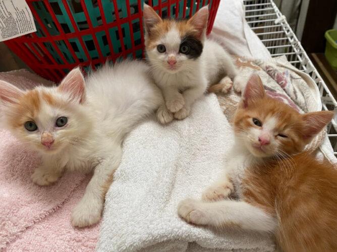 里親募集3兄妹子猫
