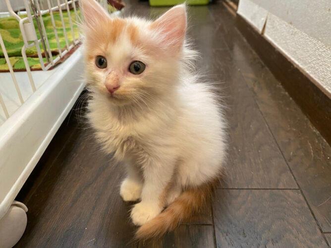 茶白子猫(メス):2021072302