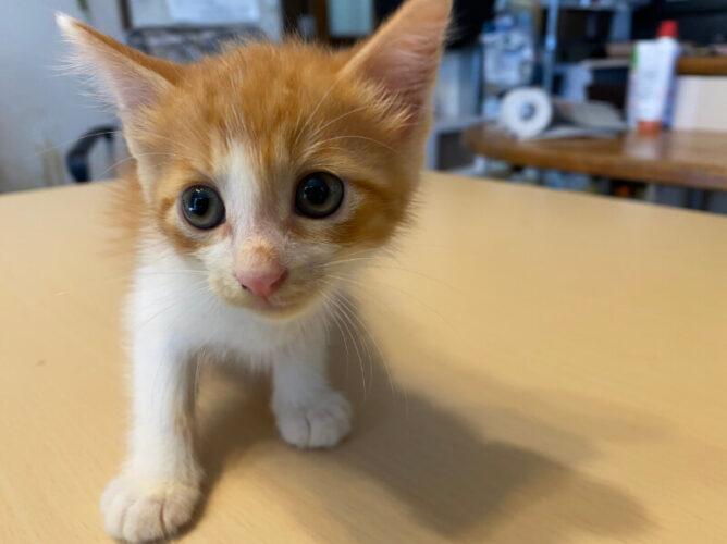 茶白子猫(オス):2021072303