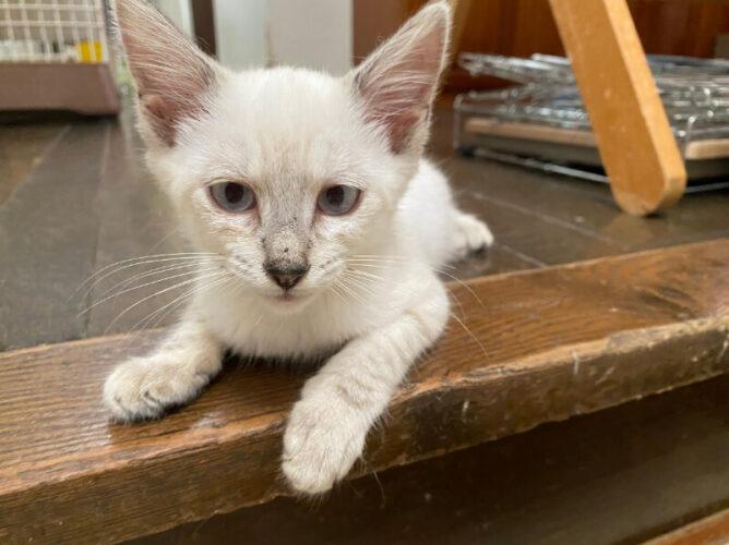 シャムミックス猫リリィちゃんの里親さんが決定しました!