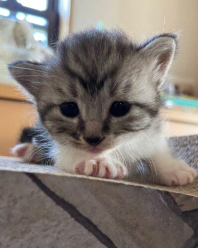 スコティッシュ系ミックス子猫(オス):2021081104