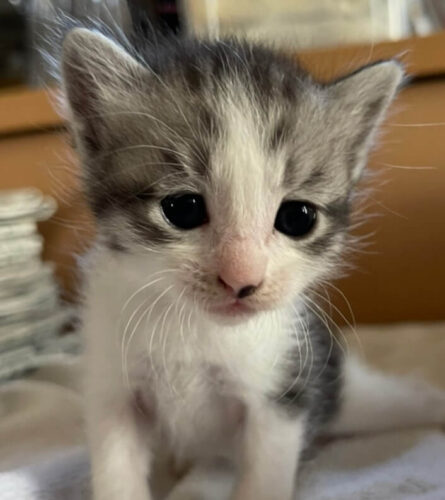 スコティッシュ系ミックス子猫(メス):2021081105