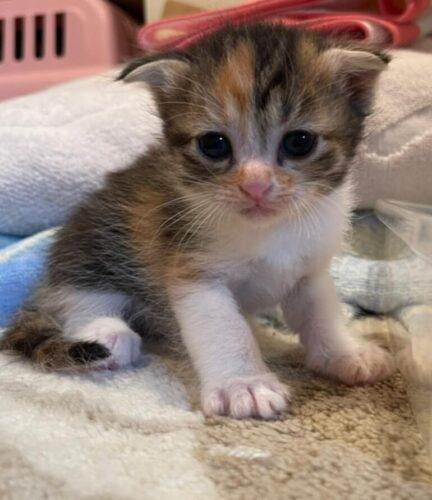 スコティッシュ系ミックス子猫(メス):2021081106