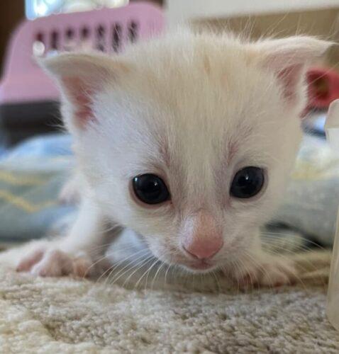 スコティッシュ系ミックス子猫(メス):2021081107