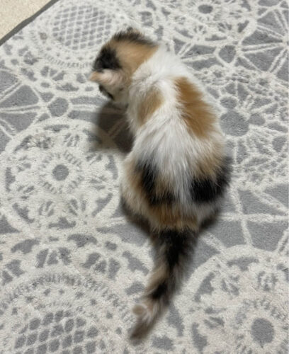 スコティッシュ系ミックス子猫(メス):2021081110