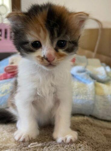 スコティッシュ系ミックス子猫(メス):2021081111