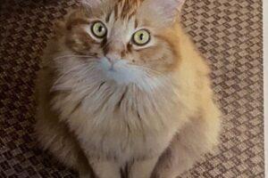 迷子猫のお知らせ:館山市佐野エリア薄茶の長毛猫