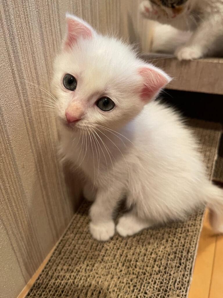 スコティッシュ系ミックス子猫(オス):2021081108