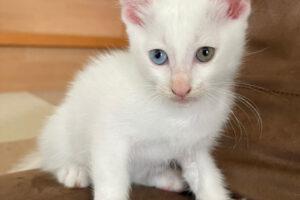 スコティッシュ系ミックス子猫(メス):2021081109