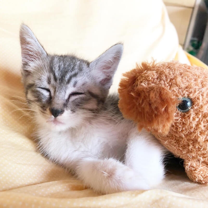 グレー白猫ライ君の里親さんが決定しました!