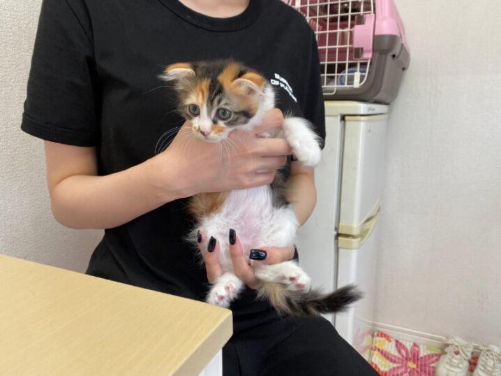 スコティッシュ系ミックス猫ヒナちゃんの里親さんが決定しました!