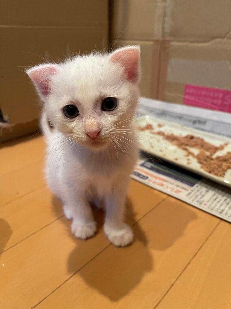 スコティッシュ系ミックス猫ユイちゃんとノア君の里親さんが決定しました!