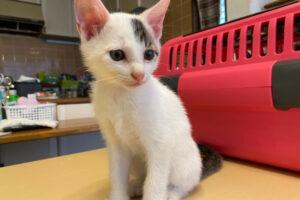 キジシロ子猫(オス):2021100602