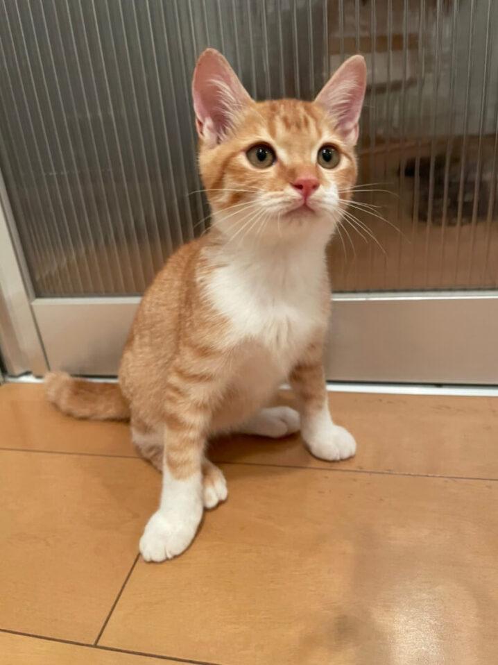 茶白子猫(オス):2021100901