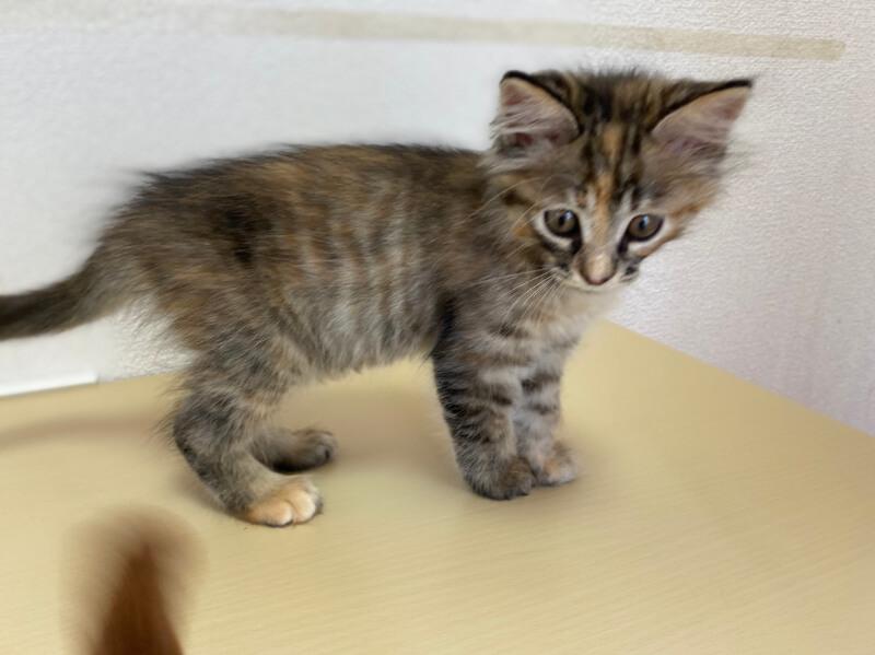 キジトラ子猫(メス):2021100902